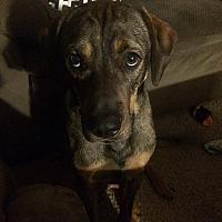 Adopt A Pet :: Remington - Springfield, MO