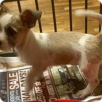 Adopt A Pet :: Tutu - Phoenix, AZ