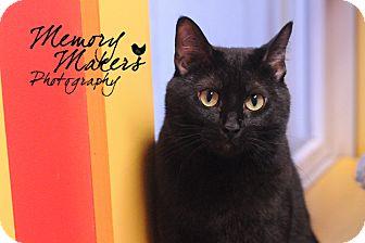 Domestic Shorthair Cat for adoption in Topeka, Kansas - Maisy