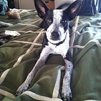 Cattle Dog/Border Collie Mix Dog for adoption in Canoga Park, California - Jax - Courtesy Posting