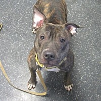 Adopt A Pet :: Bella - Menands, NY