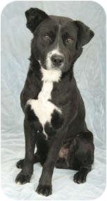 Labrador Retriever/Border Collie Mix Dog for adoption in Chicago, Illinois - Oreo