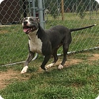Pit Bull Terrier Mix Dog for adoption in Houston, Texas - Blue