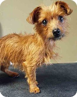 Yorkie, Yorkshire Terrier Mix Dog for adoption in Hinsdale, Illinois - ADOPTED!!!   Maxwell