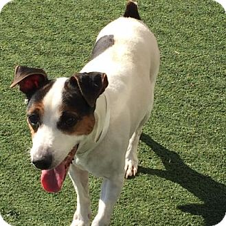 Jack Russell Terrier Mix Dog for adoption in Chesapeake, Virginia - Chubby