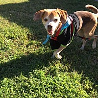 Beagle Dog for adoption in Jacksonville, Florida - Keagan