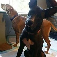 Adopt A Pet :: Mercy - Phoenix, AZ