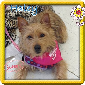 Cairn Terrier/Silky Terrier Mix Dog for adoption in Brea, California - Haley
