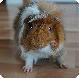 Guinea Pig for adoption in Brooklyn Park, Minnesota - Tico