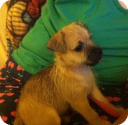 Chihuahua/Terrier (Unknown Type, Small) Mix Puppy for adoption in Shawnee Mission, Kansas - Sky Bean