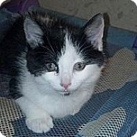 Adopt A Pet :: Sheena - Sterling Hgts, MI