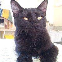 Domestic Shorthair Cat for adoption in Mountain Center, California - Aerosmith