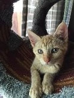 Domestic Shorthair Kitten for adoption in La Canada Flintridge, California - Gwendolyn