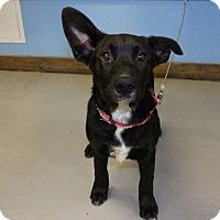 Adopt A Pet :: Annie Oakley - Austin, TX