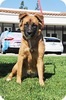 German Shepherd Dog/Golden Retriever Mix Puppy for adoption in Agoura Hills, California - Khalua