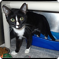 Domestic Shorthair Cat for adoption in Newport, North Carolina - Sammy