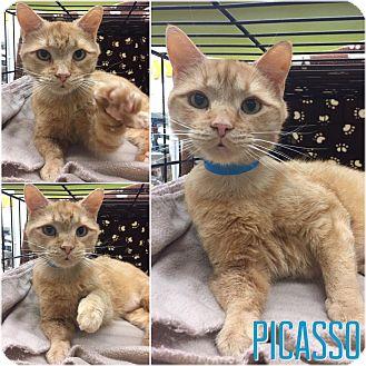 Adopt A Pet :: Picasso  - Blasdell, NY