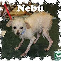 Adopt A Pet :: Nebu - Fallston, MD