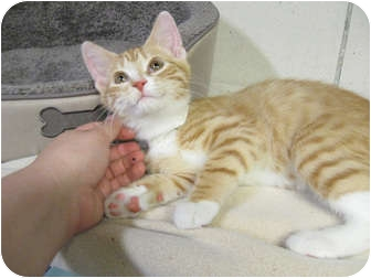 Domestic Shorthair Kitten for adoption in Centerburg, Ohio - Toggle