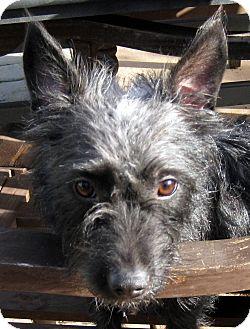 Scottie, Scottish Terrier/Cairn Terrier Mix Dog for adoption in Oakley, California - Dorothy
