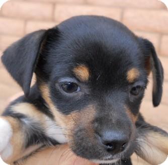 Jack Russell Terrier/Yorkie, Yorkshire Terrier Mix Puppy for adoption in dewey, Arizona - Rosie