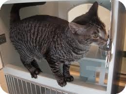 Domestic Shorthair Cat for adoption in Lancaster, Massachusetts - Tabitha