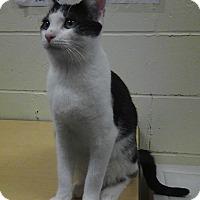 Adopt A Pet :: Loki - St. Louis, MO