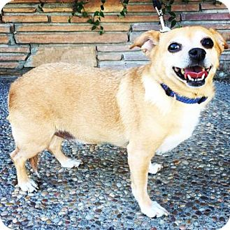 Chihuahua Mix Dog for adoption in Santa Cruz, California - Sally