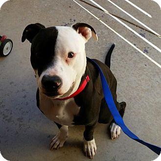 American Bulldog/Pit Bull Terrier Mix Puppy for adoption in Tucson, Arizona - Nemo
