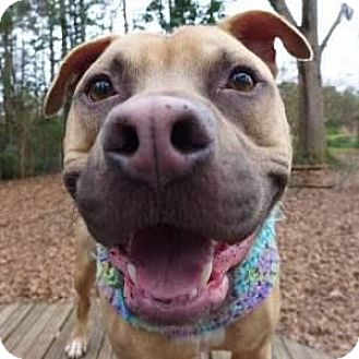 American Pit Bull Terrier Mix Dog for adoption in Decatur, Georgia - RICO