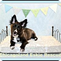 Adopt A Pet :: Gom - Elmhurst, IL