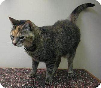 Domestic Shorthair Cat for adoption in Gary, Indiana - Mimi