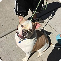 Boxer/American Bulldog Mix Dog for adoption in Park Ridge, New Jersey - Jenny