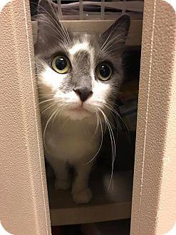 Domestic Shorthair Cat for adoption in Bensalem, Pennsylvania - Cinderella