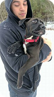Labrador Retriever/Boxer Mix Puppy for adoption in Saratoga Springs, New York - Molly ~ ADOPTED!