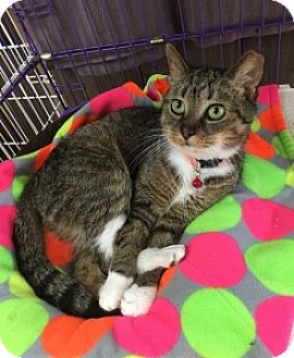 American Shorthair Cat for adoption in Hamburg, New York - Hopscotch