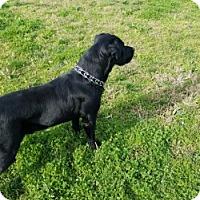 Adopt A Pet :: GUNNER - Gustine, CA