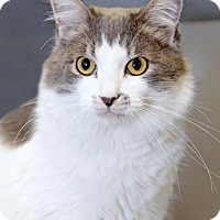 Domestic Mediumhair Cat for adoption in Encinitas, California - Lilac