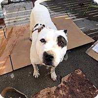 Adopt A Pet :: Petey - New York, NY