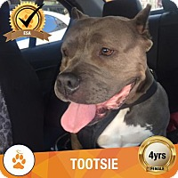 American Pit Bull Terrier Dog for adoption in Santa Monica, California - Tootsie