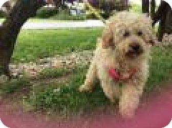 Goldendoodle Mix Dog for adoption in Mechanicsburg, Ohio - Dagwood