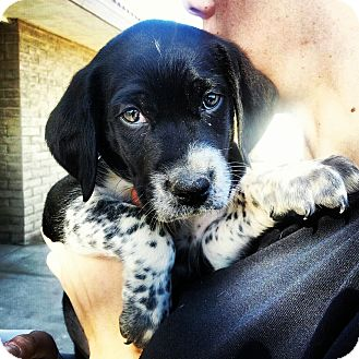 Australian Cattle Dog/Labrador Retriever Mix Puppy for adoption in Scottsdale, Arizona - Spike