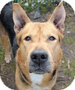 Shepherd (Unknown Type) Mix Dog for adoption in Tinton Falls, New Jersey - Anthony