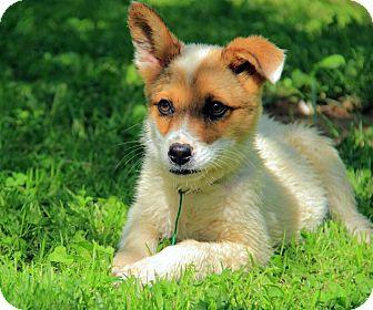 Australian Shepherd/Border Collie Mix Puppy for adoption in Staunton, Virginia - Humphery