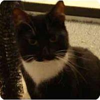 Domestic Shorthair Cat for adoption in Fayetteville, Arkansas - Clementine