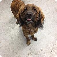 Adopt A Pet :: Jewels - Montreal, QC