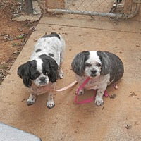 Shih Tzu Dog for adoption in Clarksville, Tennessee - Mia & Tia