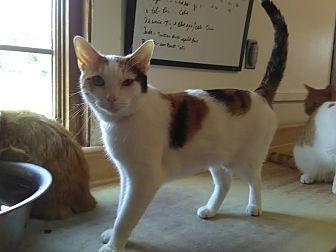 Calico Cat for adoption in Owenboro, Kentucky - FIONA