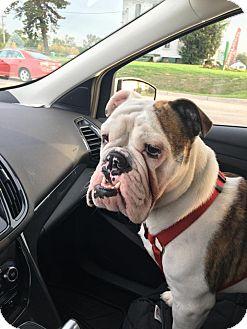 English Bulldog Dog for adoption in Park Ridge, Illinois - CJ