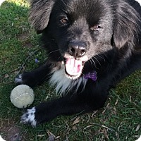 Adopt A Pet :: Perro - Alexandria, VA